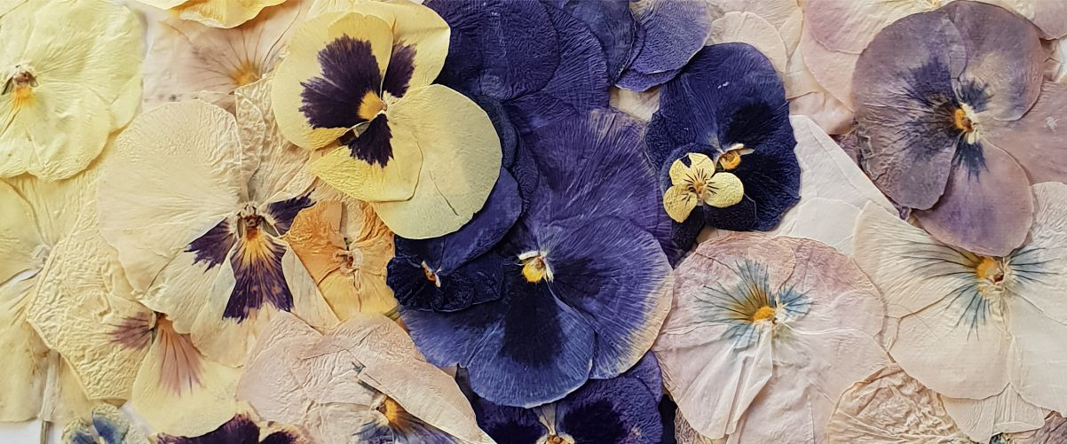 est1966 blue violetsest1966 blue violets